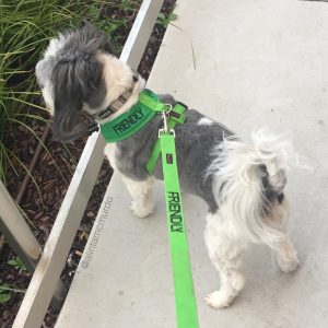 Kobi wearing the Friendly Dog Collars friendly harness and lead